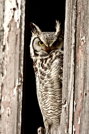 Great Horned Owl perched in barn window Stock Photo