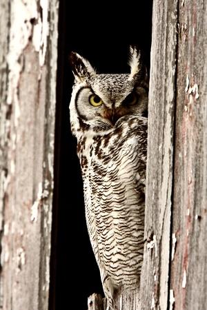 Great Horned Owl perched in barn window 免版税图像