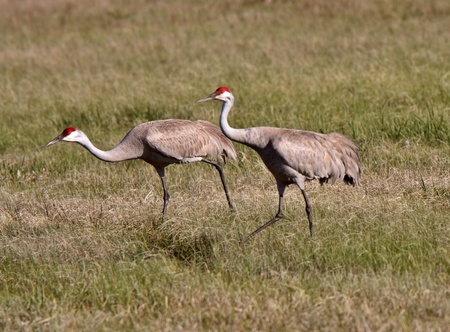 Sandhill Cranes during courting season photo