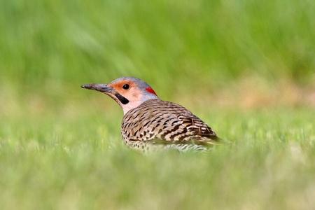 flicker: Northern Flicker in grass