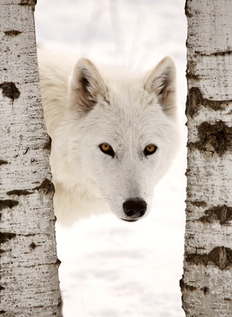 Arctic Wolf seen between two trees in winter Stock Photo