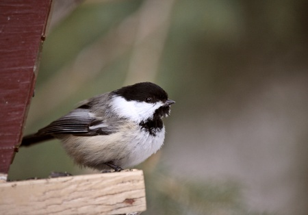 feeder: Chickadee perched on bird feeder