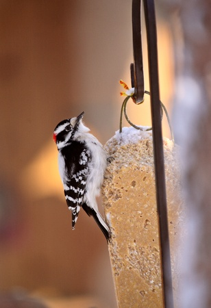 downy: Downy Woodpecker on feeder Stock Photo