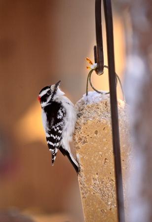Downy Woodpecker on feeder Imagens