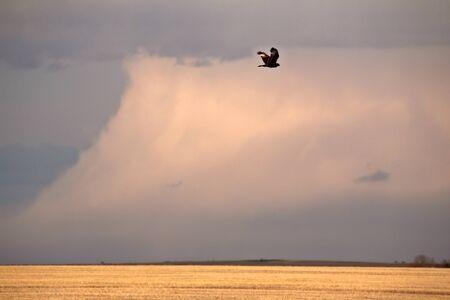 Rough legged Hawk in flight photo