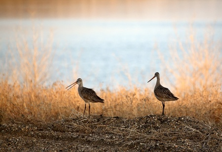 Two Marbled Godwin near water Stock Photo - 8442020