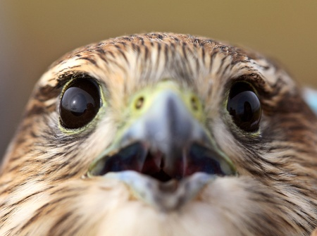 Close up of young Merlin in scenic Saskatchewan photo