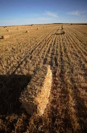 Straw bales in a Saskatchewan field Stock Photo - 8451211
