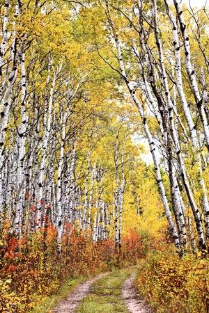arbol alamo: Sendero a trav�s de la arboleda de Aspen