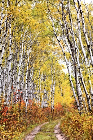 aspen leaf: Trail through Aspen grove