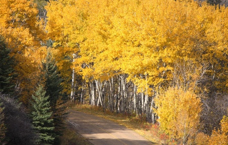 Pine and Aspen trees in fall photo