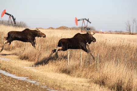 Young moose leaping over barbed wire fence photo