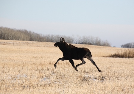 Young bull moose running across stubble field photo