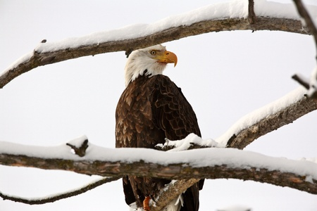 Bald Eagle perched in tree Stock Photo - 8451162