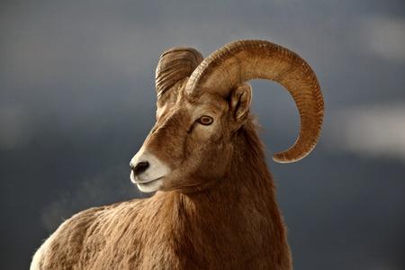carnero: Borrego cimarr�n en invierno