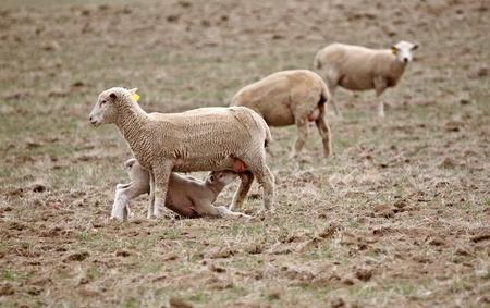 Lamb suckling on its ewe Stock Photo - 8451176