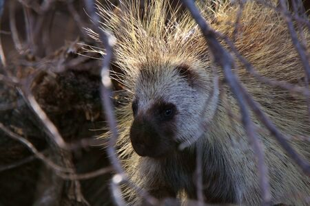 Porcupine in sunlight and shadow Stock Photo - 8451181