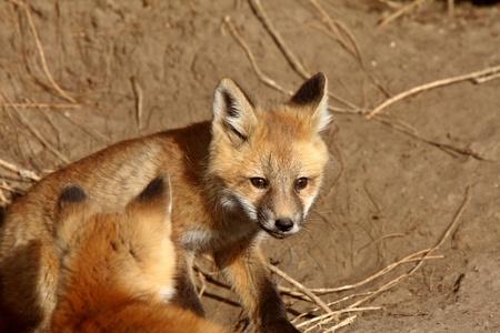 den: Red Fox pups outside their den Stock Photo