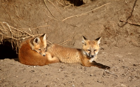 Red Fox pups outside their den photo