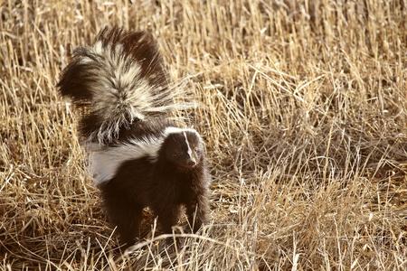 zorrillo: Skunk dividida en campo de rastrojo Foto de archivo