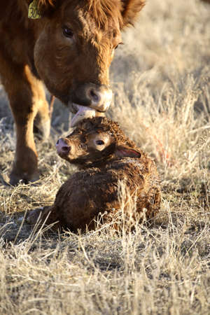 New born calf being cleaned by mother Stock Photo - 8458939