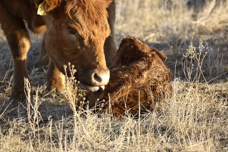 New born calf being cleaned by mother Stock Photo - 8458952