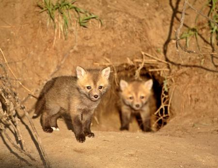 ecosistema: Kits de zorro rojo en den entrada en Saskatchewan