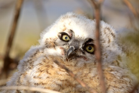 Great Horned Owlet in nest photo
