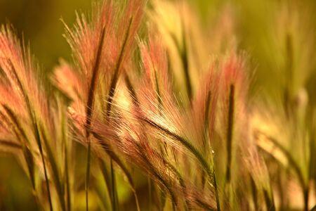 saskatchewan: Heads of foxtail barley in scenic Saskatchewan