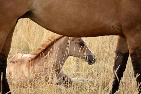 Foal and mare in a Saskatchewan pasture Stock Photo - 8458924