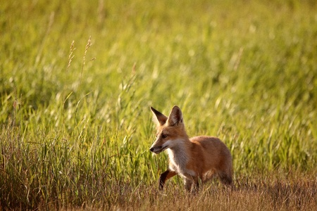 Young fox beside a Saskatchewan country road Stock Photo