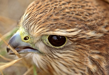 merlin falcon: Close up of young Merlin in scenic Saskatchewan Stock Photo