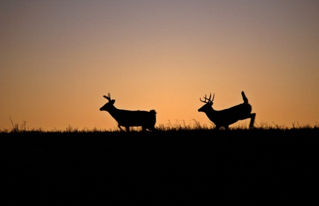 two White-tailed deerbucks  running though a field after sunset