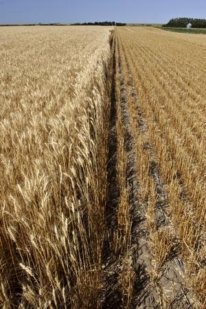 Ripened wheat and stubble in Saskatchewan field photo