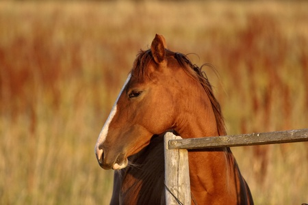 Horse leaning over fence Stock Photo - 8461322