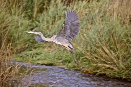 Great Blue Heron taking flight from river photo