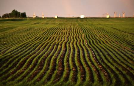 Neat rows of new growing grain crop photo