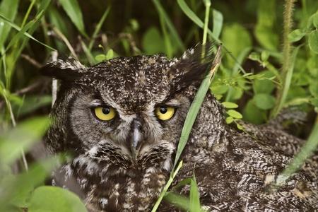 horned: Great Horned Owl fledling hiding in tall grass