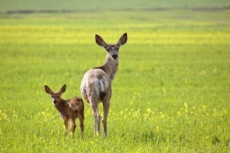 Mule Deer doe and fawn looking back over their shoulders Stock Photo