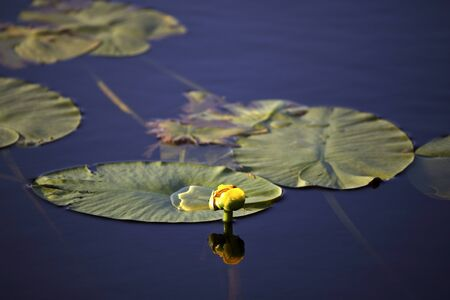 Water Lilly and large leaves in Northern Saskatchewan lake Stock Photo - 8473217