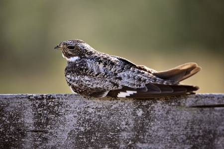 Common Nighthawk resting on cross post