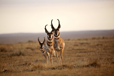 Three male Pronghorn Antelopes in Alberta