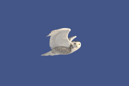 Snowy Owl in flight Stock Photo