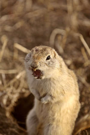 Snarling Gopher looking for trouble in Saskatchewan