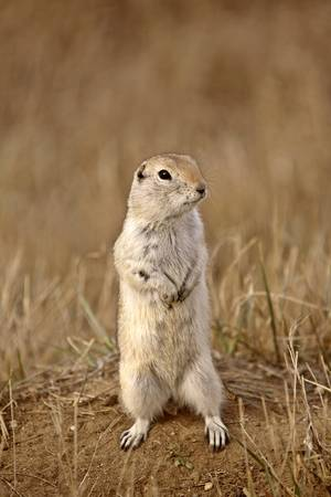Gopher standing up looking for danger in Saskatchewan