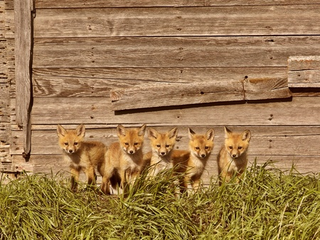 Five fox kits by old Saskatchewan granary