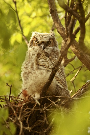 Great Horned Owl fledgling perched on branch photo