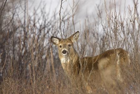 Whitetail Deer in Winter Saskatchewan Canada Cold freezing Stock Photo - 9151855