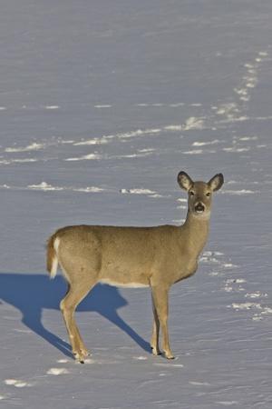 Whitetail Deer in Winter Saskatchewan Canada Cold freezing Stock Photo - 9151798