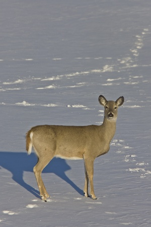 Whitetail Deer in Winter Saskatchewan Canada Cold freezing Stock Photo - 9151798